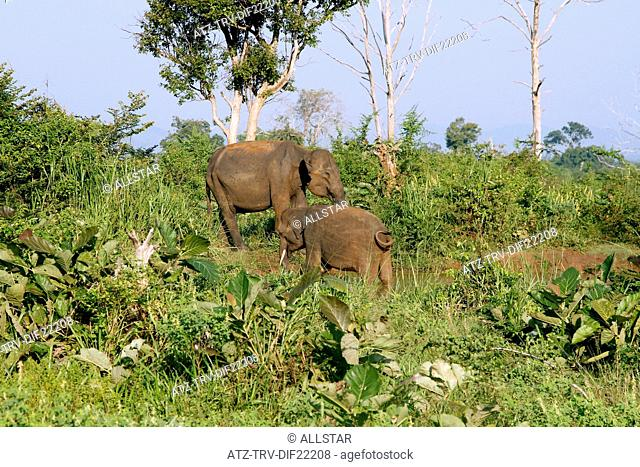 ASIAN ELEPHANTS; UDAWALAWE SAFARI PARK, SRI LANKA; 16/03/2013