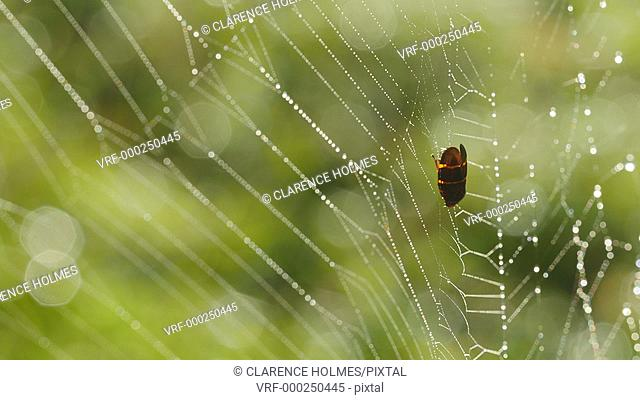 A dew covered spider web with an enshared Two-lined Spittlebug (Prosapia bicincta) blows in a gentle early morning breeze