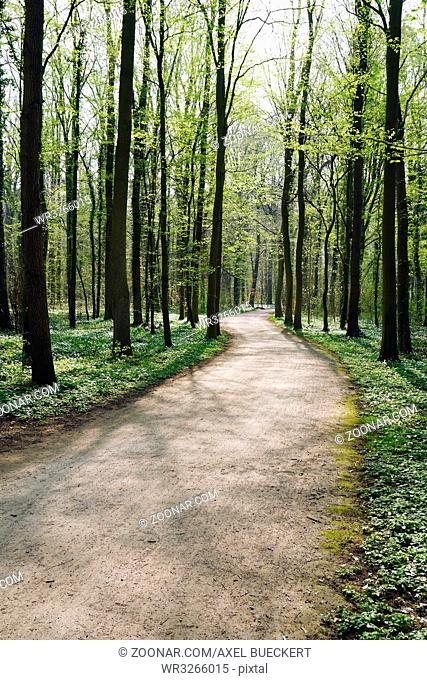 empty forest trail in spring. tree-lined path through deciduous or broadleaf woodland