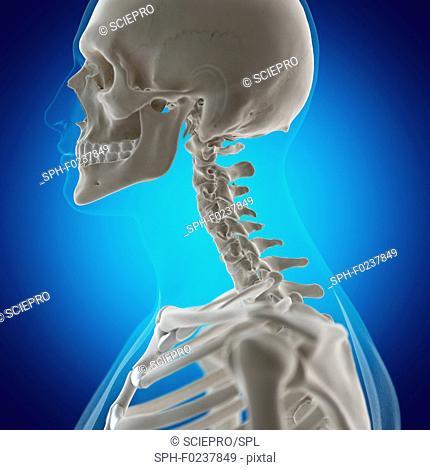 Illustration of the neck bones