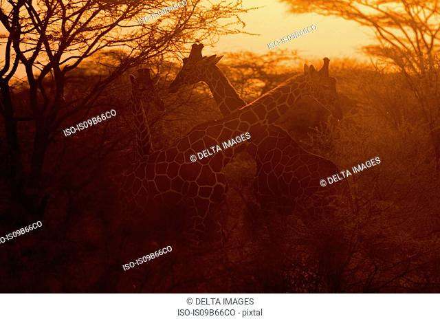 Two reticulated giraffe, Giraffa camelopardalis reticulata), at sunset, Kalama Wildlife Conservancy, Samburu, Kenya, Africa