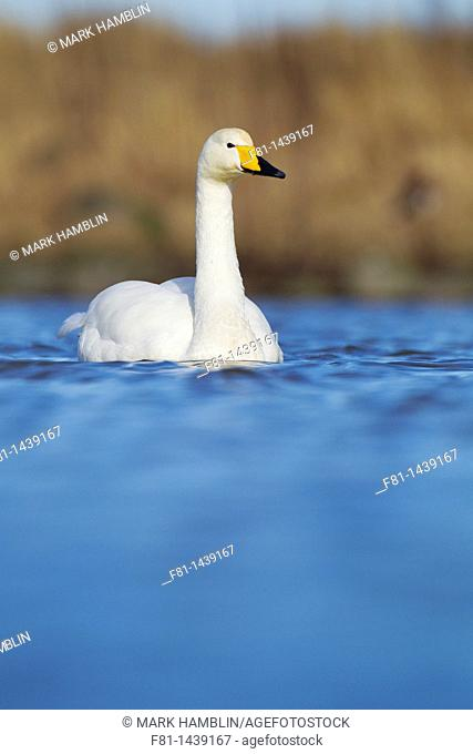 Whooper swan Cygnus cygnus portrait of adult on water, Iceland, April 2010