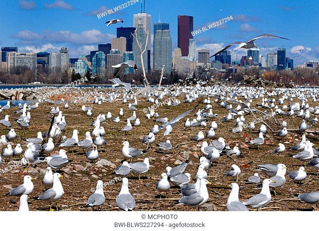 ring-billed gull Larus delawarensis, Crowd of Ring Billed Gulls at Leslie Street Spit nesting grounds, Canada, Ontario, Toronto