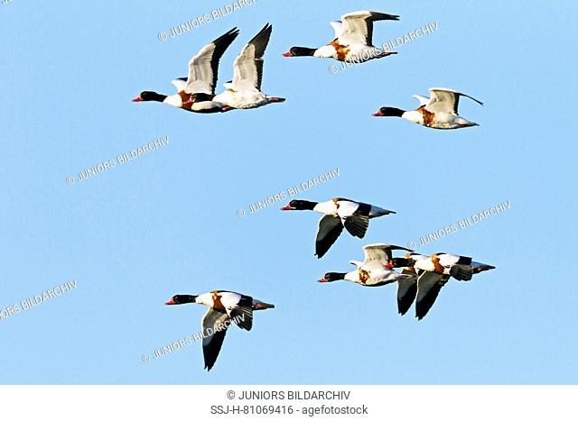 Common Shelduck (Tadorna tadorna). Flock in flight. Germany