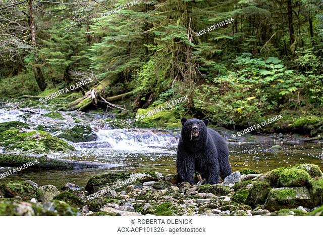 Black spirit bear (Ursus americanus kermodei), with a bit of dead salmon (Oncorhynchus sp.), Great Bear Rainforest, British Columbia, Canada