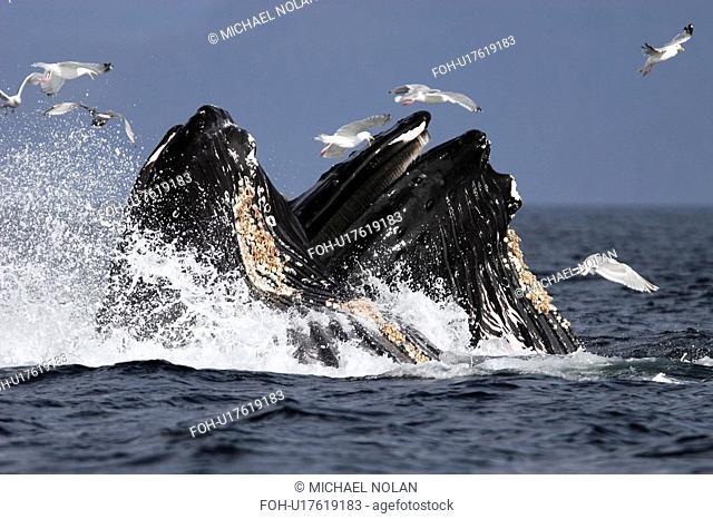 Humpback Whales Megaptera novaeangliae cooperative bubble-net feeding for herring in Iyoukeen Bay, Chichagof Island, Southeast Alaska