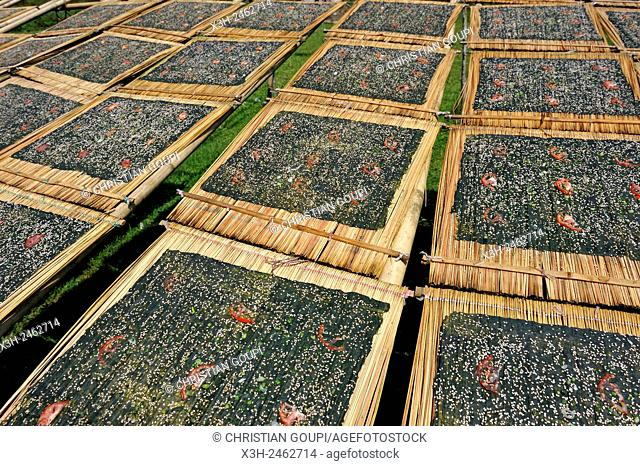 sun drying of ''Kai Paen'' dried river weed sheets sprinkled with sesame seeds, thinly sliced tomatoes and garlic, northern Laos, Southeast Asia
