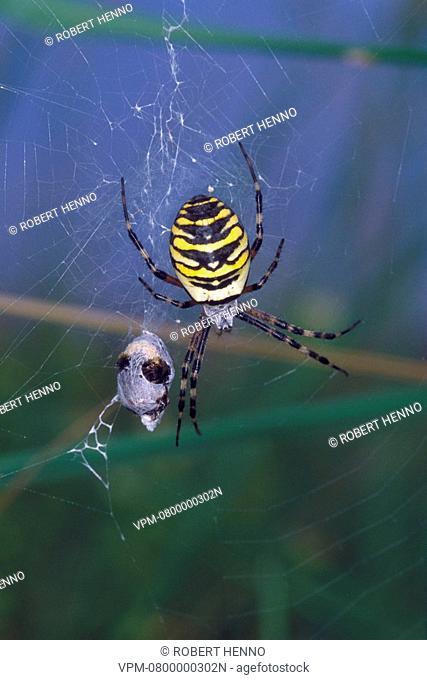 ARGIOPE BRUENNICHIORBWEB-SPIDER - WASP SPIDEREUROPE - ARGIOPIDAEIN WEB WITH PREY