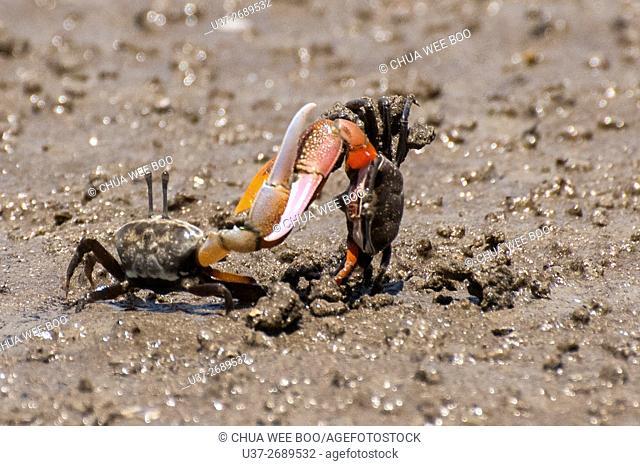 Small Crabs Fighting. Image taken at Bako National Parks, Sarawak, Malaysia