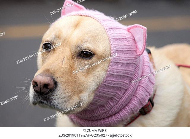 January 19, 2019 - Seattle, Washington, United States - Seattle, Washington: A compliant dog wears a pussyhat at the pre-march rally at Cal Anderson Park for...