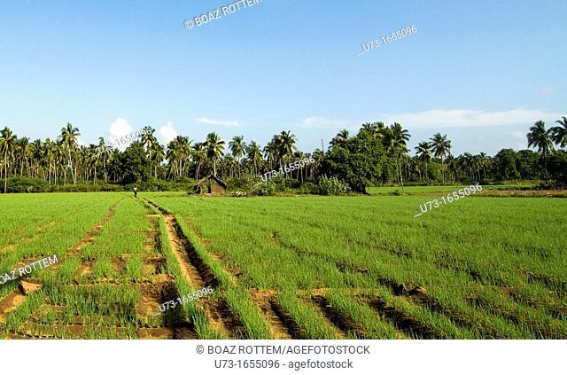 Spring Onion cultivation in Sri Lanka