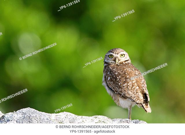 Burrowing Ow, Athene cunicularia, standing on rock, Ilha do Mel, Brazil