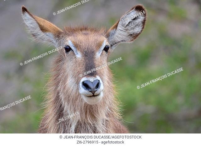 Waterbuck (Kobus ellipsiprymnus), adult female, portrait, Kruger National Park, South Africa, Africa