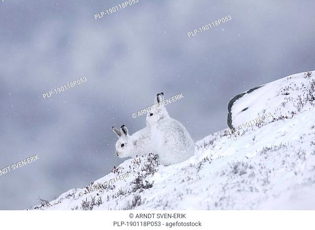 Two mountain hares / Alpine hare / snow hares (Lepus timidus) in white winter pelage resting on hillside during snowstorm, Cairngorms NP, Scotland, UK