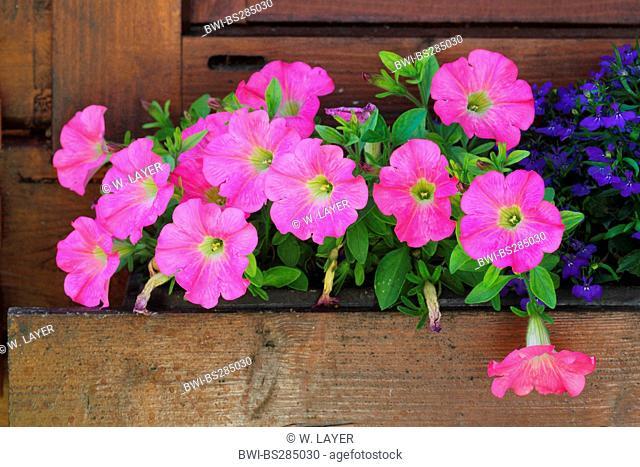 petunia (Petunia pendula, Calibrachoa spec.), in a flower box