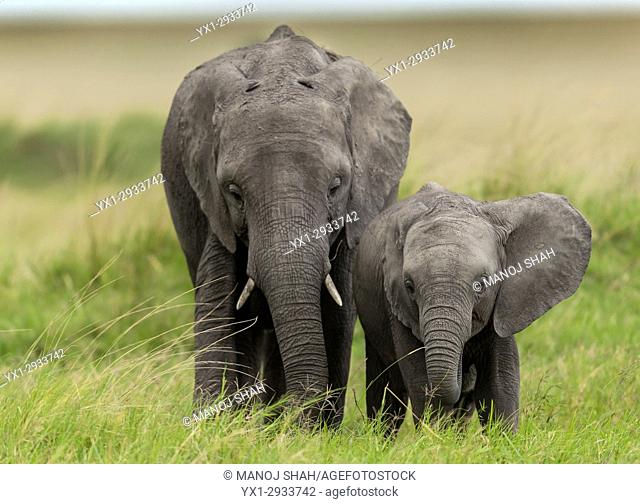African elephant youngsters. Masai Mara National Reserve, Kenya