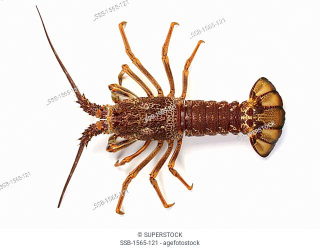 Southern Rock Lobster
