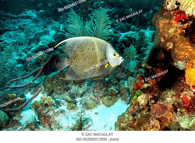 Angelfish swimming at underwater reef