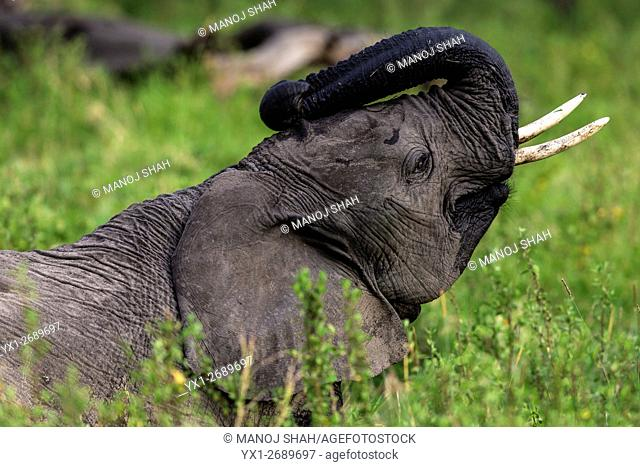 African Elephant in the long grass of the swamp, Masai Mara National Reserve, Kenya