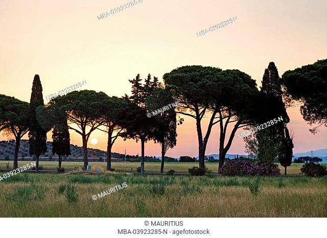 Pines and cypresses avenue at sundown