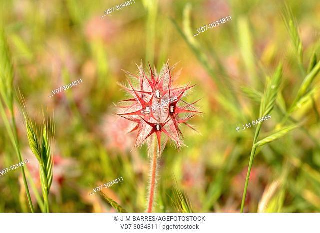 Starry clover (Trifolium stellatum) is an annual herb native to Mediterranean region, Canary Islands and western Asia. This photo was taken in Garraf Natural...