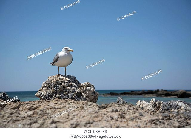 Elafonissi beach, Crete, Greece, Europe. A Seagull bird on a rock