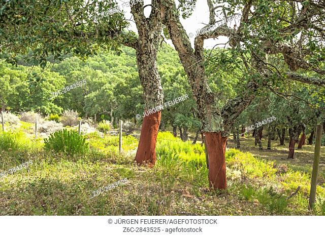 cork oak with peeled bark, quercus suber, cork oak forests of the Sierra Grazalema, Andalusia, Spain