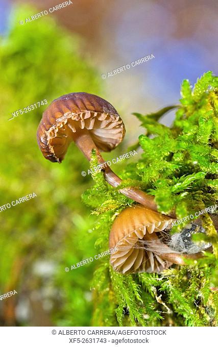 Mycena, Mushrooms, Valsain Forest, Guadarrama National Park, Segovia, Castilla y León, Spain, Europe