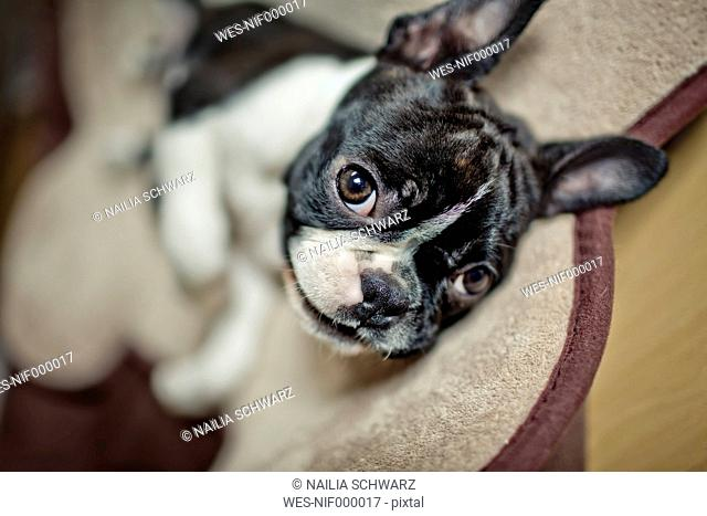 Germany, Rhineland-Palatinate, Boston Terrier, Puppy lying