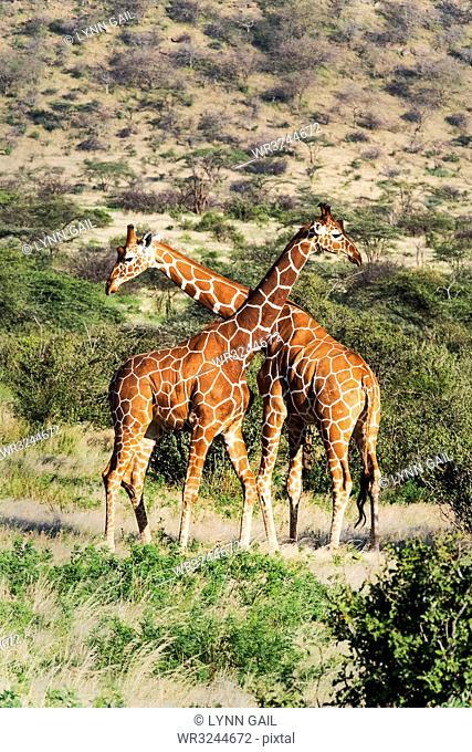 Two reticulated giraffes necking, Samburu National Reserve, Kenya, East Africa, Africa