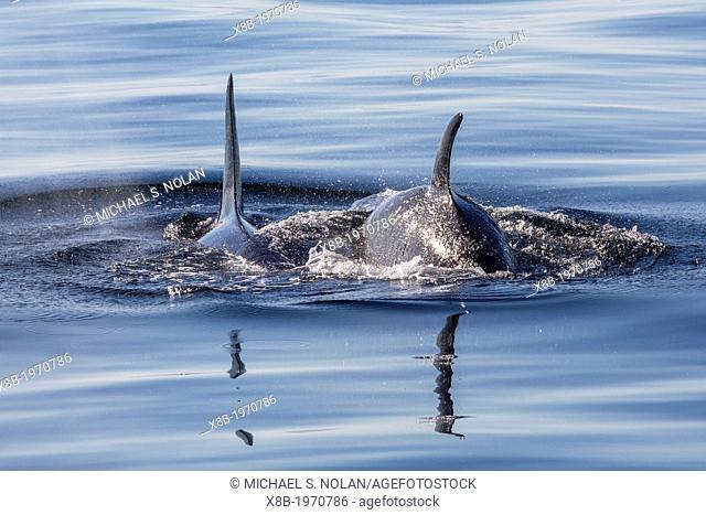 Resident killer whales (Orcinus orca) in Cattle Pass, San Juan Island, Washington, U.S.A