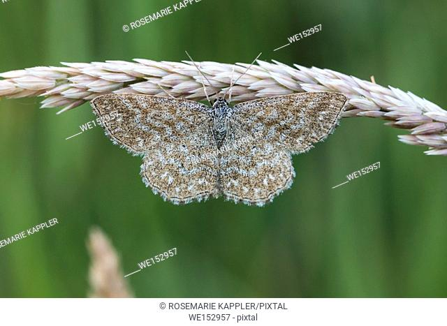 A lewes moth is sitting on a grass-stock
