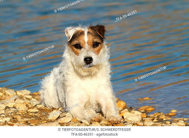 lying Parson Russell Terrier