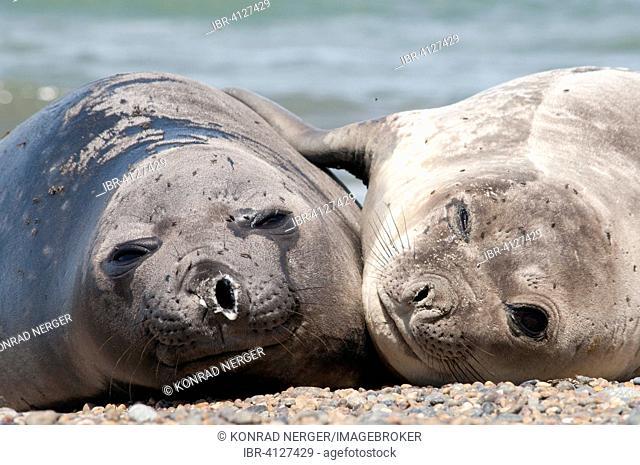Southern elephant seals (Mirounga leonina), near Punta Ninfas, Argentina