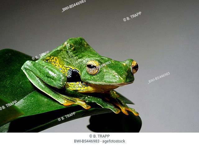 black-webbed treefrog (Rhacophorus kio), front view, cutout