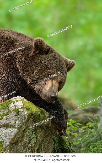 Brown Bear (Ursus arctos), Bavarian Forest National Park, Germany