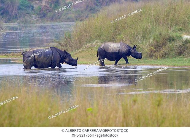 Indian rhinoceros (Rhinoceros unicornis). Royal Bardia National Park, Bardiya National Park, Nepal, Asia