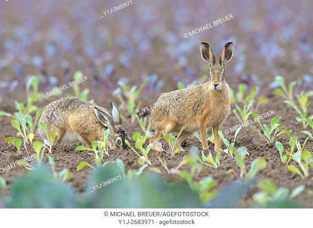 European brown hares (Lepus europaeus) on Field, Hesse, Germany, Europe