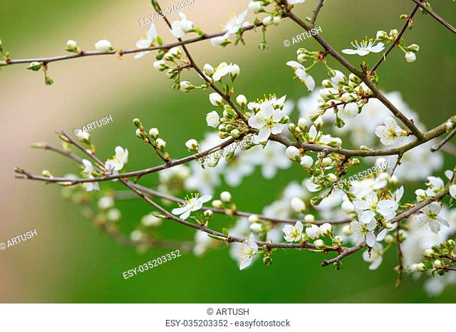 Blossoming tree spring with very shallow focus background or backdrop use