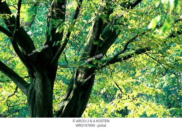 Beech, Tree, in, spring, Germany,Fagus, sylvatica