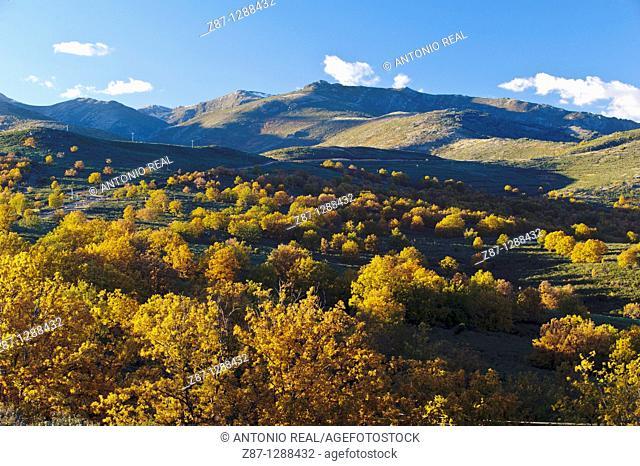 Oaks (Quercus pyrenaica), Macizo del Pico del Lobo, Parque Natural Sierra Norte de Guadalajara, El Cardoso de la Sierra, Guadalajara, Spain