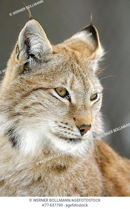 Lynx (Lynx lynx), captive. Finland