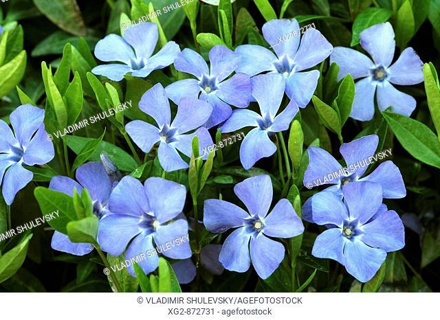 Spring Periwinkle or Vinca minor flowers in nature, full frame