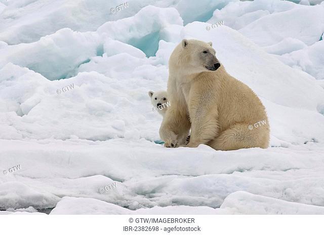 Female Polar bear (Ursus maritimus) with cub, Svalbard Archipelago, Barents Sea, Norway, Arctic