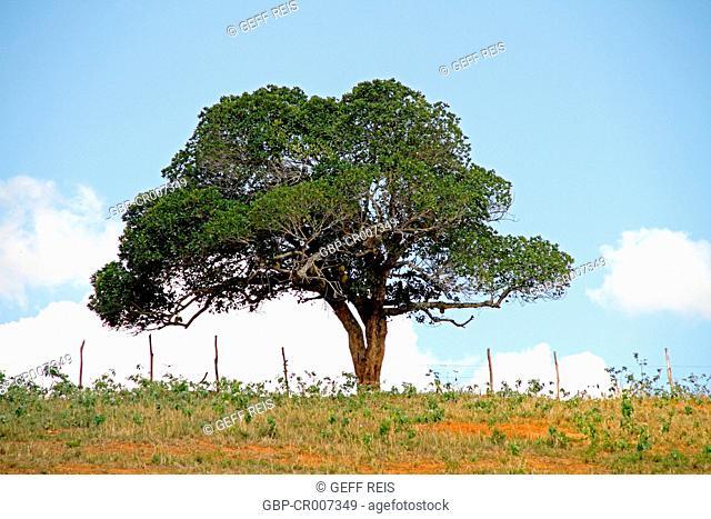 Jackfruit Tree, Paraiba, Brazil
