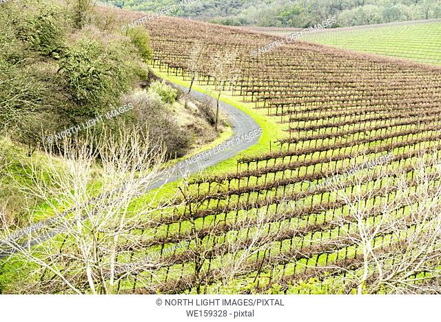 USA, California, Sonoma Valley. Very tidy and organized vineyard. Vines are bare in the winter months