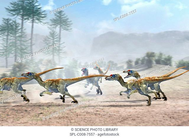 Velociraptor dinosaurs. Artwork of a group of Velociraptor mongoliensis dinosaurs running in pursuit of their prey not seen