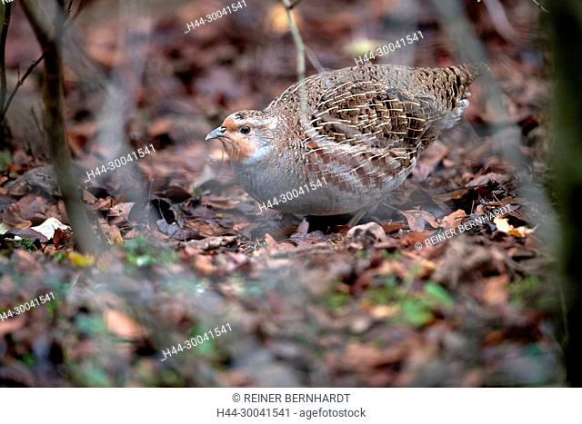 Pheasant-like, partridges, Galliformes, chickens, gallinaceous bird, gallinaceous birds, chain partridges, Perdix perdix, partridge, partridges