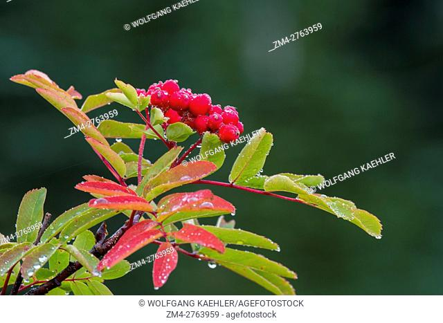 Mountain ash berries in the fall at the meadows at Paradise in Mt. Rainier National Park in Washington State, USA