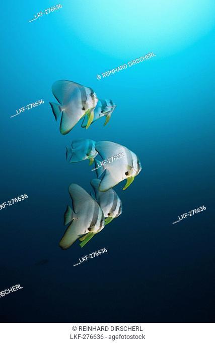 Longfin Batfish, Platax teira, Maldives, North Ari Atoll